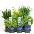 Хвойные микс -- Conifers mixed  P17/H50