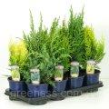 Хвойные микс -- Conifers mixed  P13/H40