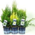 Хвойные микс -- Conifers mixed  P15/H40