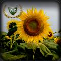 Seeds of sunflower NEO (under granstar) / nas_nnya a sonyashnik NEO (p_d granstar)