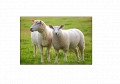 Sheep Meat / el corder