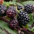 "Tornfri's blackberry (English ""without thorns"")"