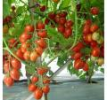 Seedling Tomato slivka industrial hybrids of Namib of F1