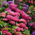 Гортензия крупноцветковая Букет Роз