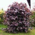 Лещина большая Пурпуреа