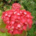 Гортензия крупноцветковая Мася