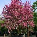 Райская яблоня Рудольф