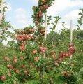 Райская яблоня Weiser Winterglockenapfel шпалера