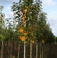 Яблоня райская Голден Хорнет