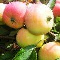 Яблоня Пепенка золотистая