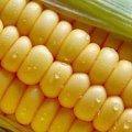 Cемена гибрида кукурузы Корифей