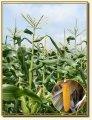Семена кукурузы брусница