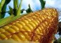 Семена кукурузы Дмитрик