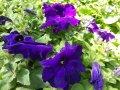 Семена петунии Фиолетовая