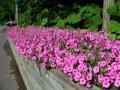 Семена петунии Розовая