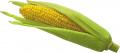 Семена кукурузы Евралис ЕС Москито