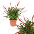 Фризея Астрид -- Vriesea Astrid  P12/H45