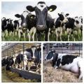 Храненето на говедата