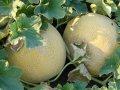 Трейси f1 / treysi f1 – дыня, enza zaden 500 семян