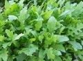 Грация / gratsiya – руккола, enza zaden 1 000 000 семян