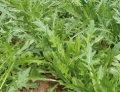 Триция / tritsiya – руккола, enza zaden 100 000 семян