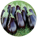 Eggplant fresh
