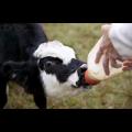 Заменитель цельного молока Силак-Т для телят сухой