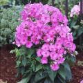 Семена Флокс метальчатый розовый