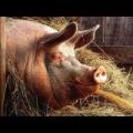Премикс Витамит для откорма свиней (витамины, микроэлементы)