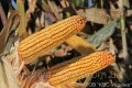 Семена гибрида кукурузы КВС 6471 имп