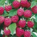 Саженцы малины Брусиловская