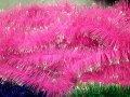 Дождик-Мишура 100мм диаметр,розовый с серебрнным кончиком .