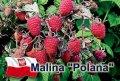 Саженцы малины Полька Полана