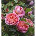 Саженцы роз Boscobel