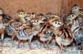 Охотничий фазан (суточный)