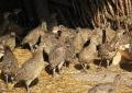 Охотничий фазан (двухмесячный)
