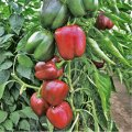 Семена сладкого перца, Зондела РЦ / Sondela RZ F1 упаковка (1000 шт)