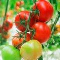Семена томата Т-47110кЛАВЕРО F1селекции Syngenta 500семян