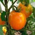 Семена томата Хурма дет. Элитный Ряд 1г