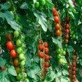 Семена томата Гармони F1селекции Tezier 250семян