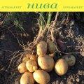 Семенной картофель Кристел овальный среднеранний 2 репродукция IPM Potato Group 20кг