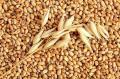 Пшеница фуражная и пищевая