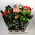 Антуриум андре микс 6 цветов -- Anthurium andreanum mixed 6 Clr.  P17/H60