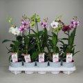 Орхидея Дендробиум Са-нук микс -- Dendrobium Sa-Nook mixed  P11/H45