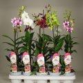 Орхидея Дендробиум Са-нук микс -- Dendrobium Sa-Nook mixed  P11/H50