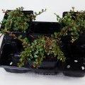 Кизильник лежачий Streibs Fin -- Cotoneaster procumbens Streibs Fin  P9/H15