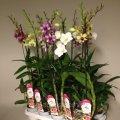 Орхидея Дендробиум Са-нук микс -- Dendrobium Sa-Nook mixed  P11/H75