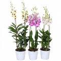 Орхидея Дендробиум Са-нук микс -- Dendrobium Sa-Nook mixed  P17/H80