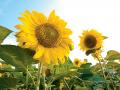 Семена подсолнечника Гибрид «Рими»