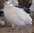 Инкубационное яйцо перепелов Техасский белый